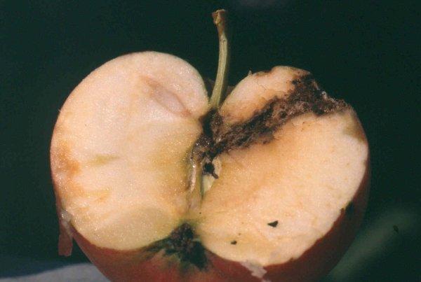 Typischer Fraßgang in der Frucht