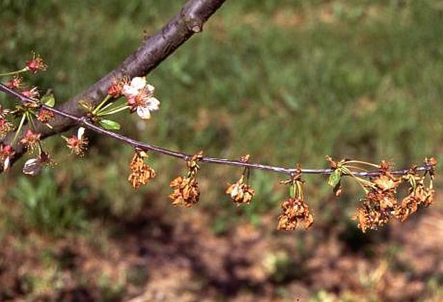 Monilia - absterbende Blüten